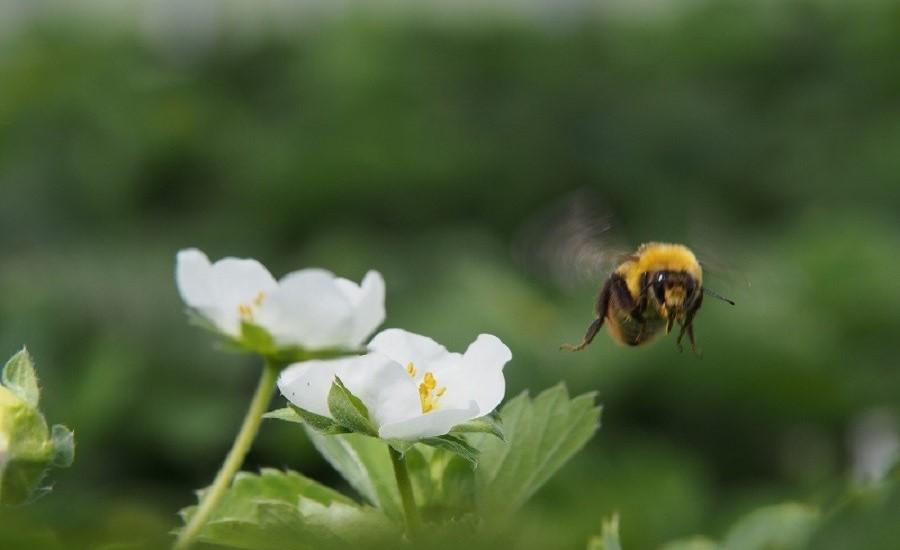 イチゴだけでなく、ハチにも良い環境をつくり、良質な受粉をさせます
