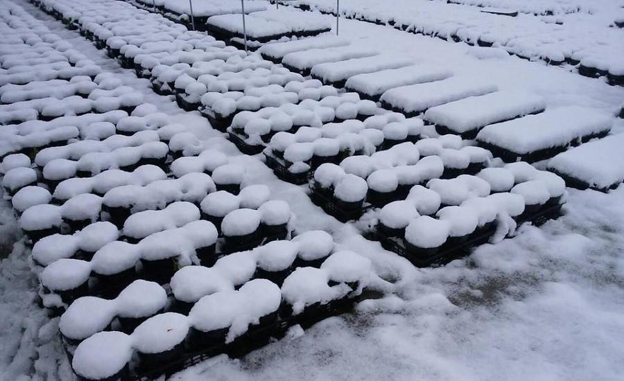 苗を雪の下に一旦埋めて良質な休眠をとらせます