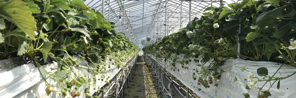 夏イチゴ農園ストロベリーファーム
