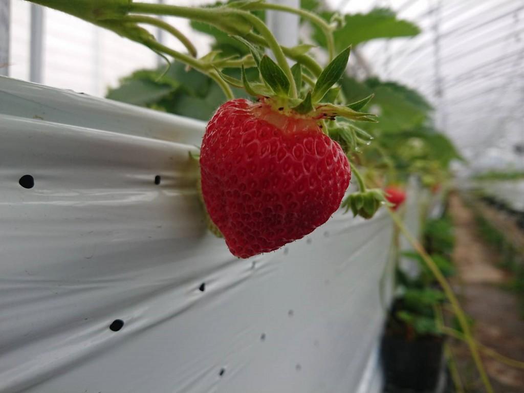 夏イチゴ「なつあかり」