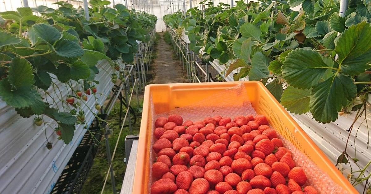 夏秋イチゴの出荷終了