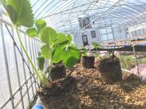 2020年の夏イチゴ定植