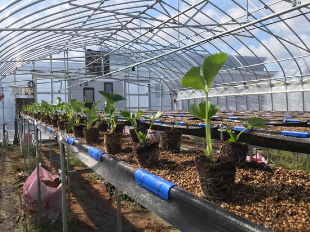 2020年の夏イチゴの定植
