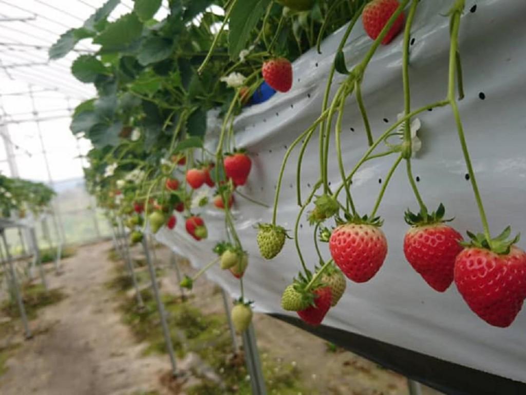 夏秋イチゴなつあかりは夏や秋でもおいしい品種