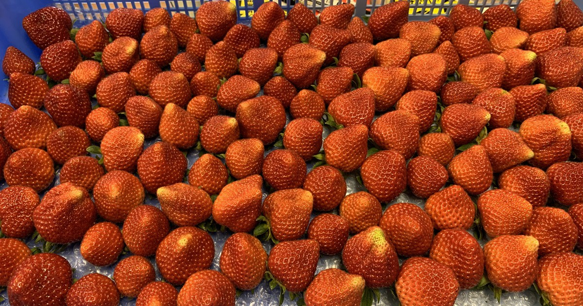夏イチゴの出荷販売開始