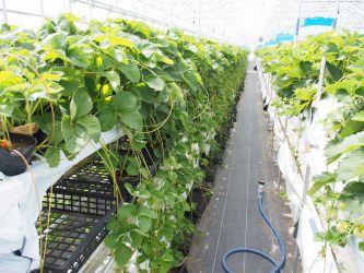 苗の自社生産。外部委託せず、自社で増殖、育苗することで、栽培履歴の透明化や農薬残留リスクの回避を行っています。