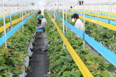 夏イチゴ専用害虫トラップ。IPM(総合防除)技術を取り入れ、化学農薬の使用を慣行栽培の半分以下に抑えています。