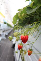 本来は夏が旬。栄養豊富な雪解け水と、暖かみのある陽射しで育つイチゴの、旬の味わいを楽しんで下さい。