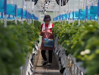 ミス、エラーを防ぐ工夫。圃場観察や手入れの効率化にも有効な高設栽培を導入し、バックアップのきかないイチゴの、適切な育成を実施しています。