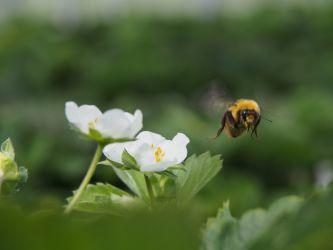 受粉ハチの環境保護。化学農薬の仕様を減らすことでハチの活動や寿命が改善し、イチゴの結実効率を改善しています。